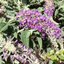 Butterfly Bush Lo And Behold Purple Haze