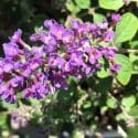 Butterfly Bush Low And Behold Blue Chip Jr