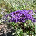 Butterfly Bush Adonis Blue