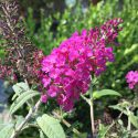 Butterfly Bush Miss Molly