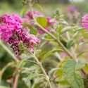 Butterfly Bush Miss Ruby