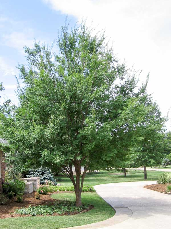 elm allee 2   tree top nursery amp landscape inc