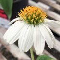 Coneflower Pow Wow White