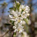 Crabapple Spring Snow