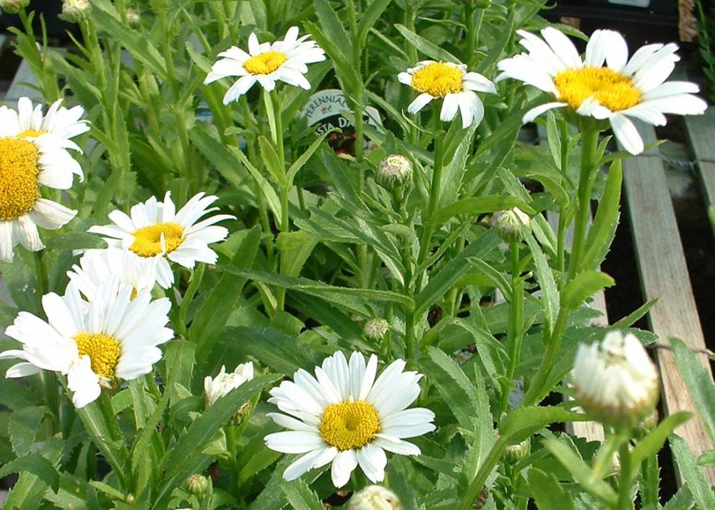 Shasta Daisy Becky - Tree Top Nursery & Landscape Inc.