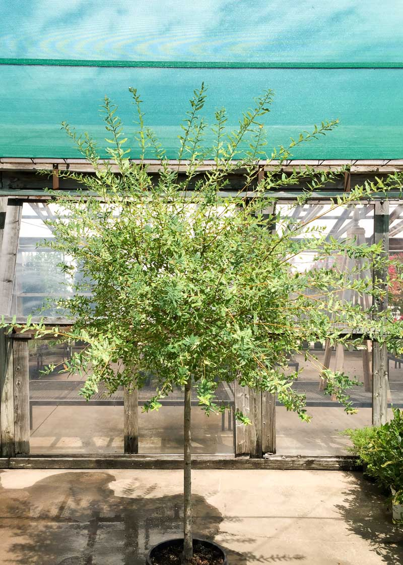 Willow Dled Tree Top Nursery Landscape Inc