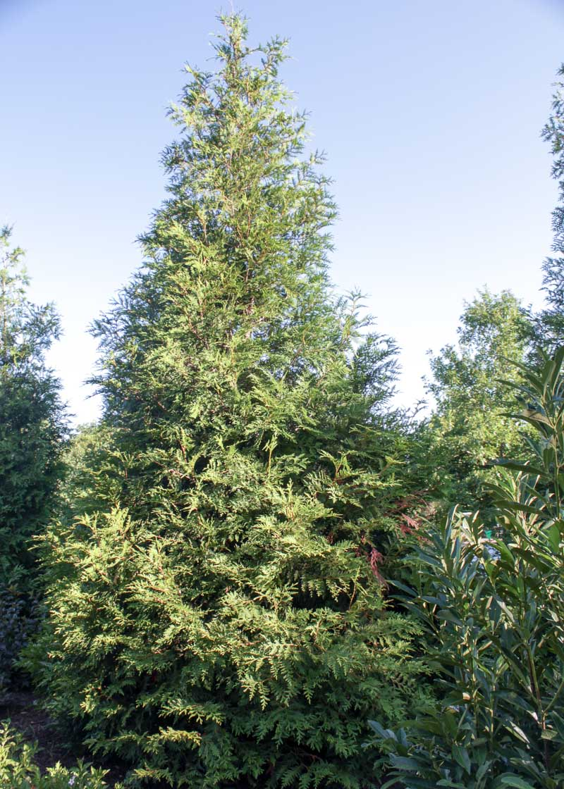 Arborvitae green giant tree top nursery landscape inc Green giant arborvitae