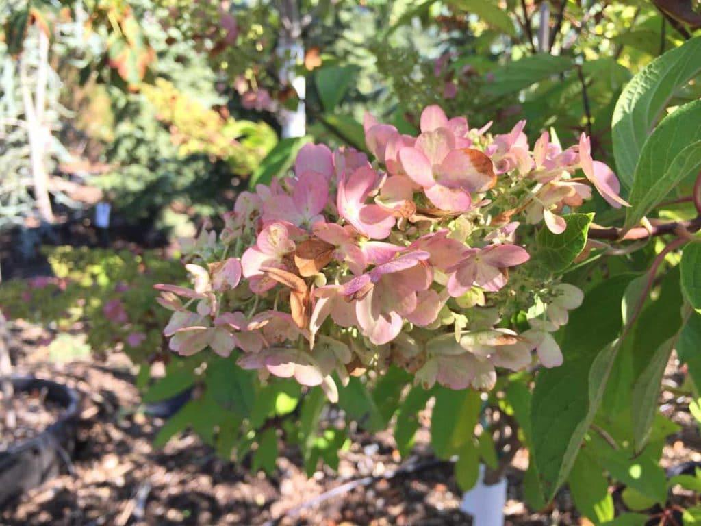 Hydrangea Pinky Winky-2 - Tree Top Nursery & Landscape Inc