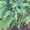 Juniper Moor-dense