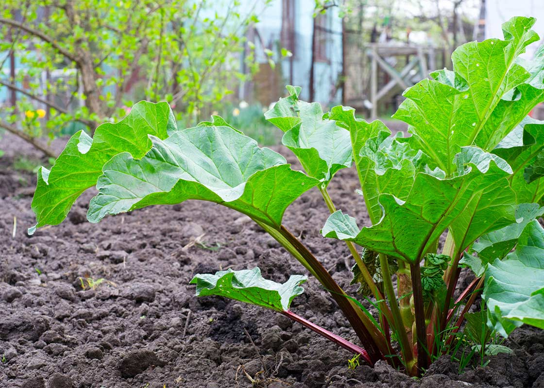 Picture of 2 (TWO) Live Rhubarb roots, rhubarb crowns aka Rheum rhabarbarum Plant Fit 4IN Pot