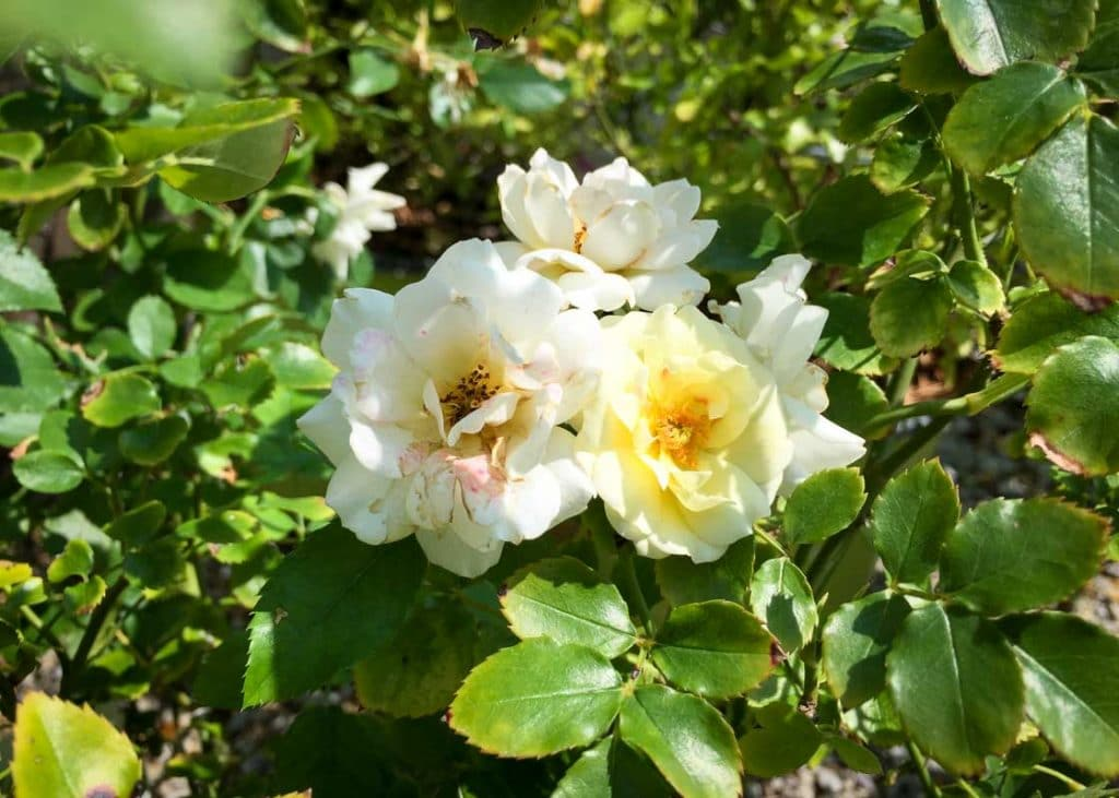 rose popcorn drift   tree top nursery amp landscape inc