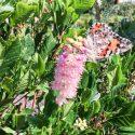 Summersweet Pink Spires