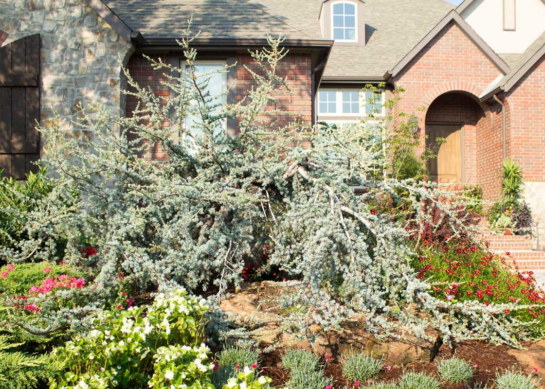 Cedar Weeping Blue Atlas Tree Top Nursery Amp Landscape Inc
