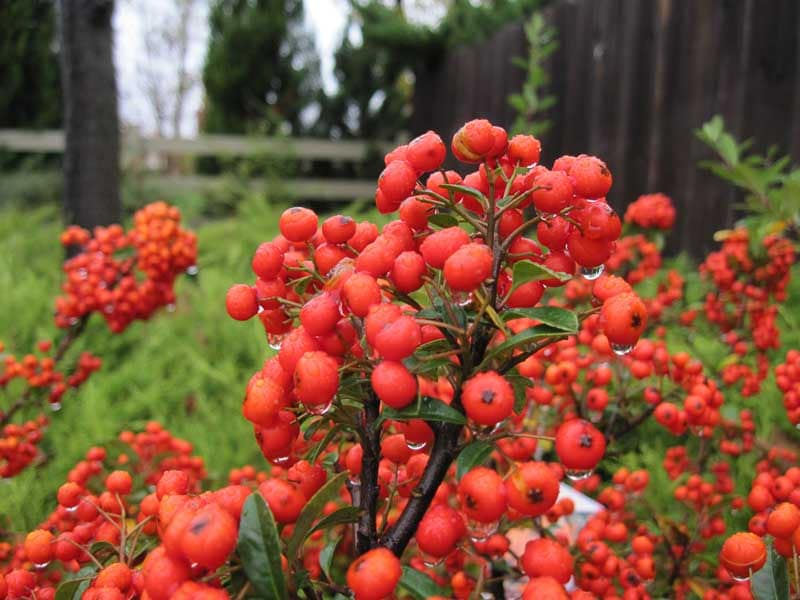 There Are Many More Varieties Of Berry And Winter Fruit Bearing Plants. So,  No More Dreary Winter Gardens, Visit Tree Top And Ask An Expert To Show You  The ...
