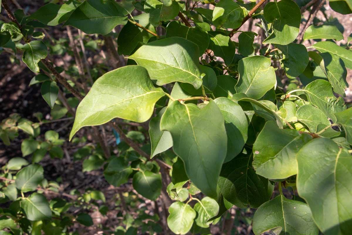 Lilac Tree Ivory Silk