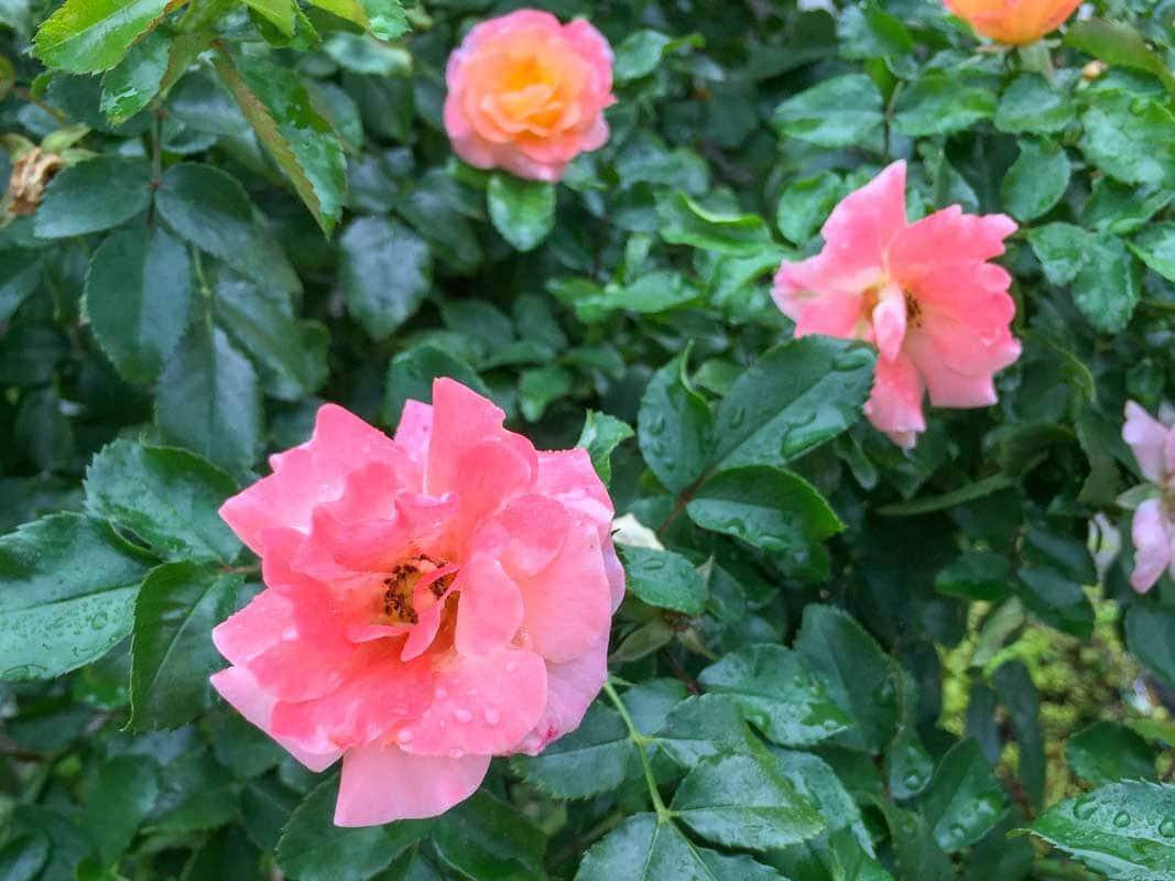 Rose Peach Drfit