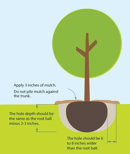 Tree & Shrub Planting Guide